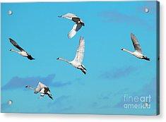 Swan Flight Acrylic Print by Mike Dawson