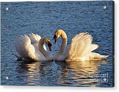 Swan Heart Acrylic Print