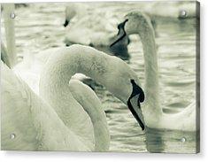 Swan In Water Acrylic Print