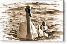 Swan Lake Acrylic Print by Jason Christopher