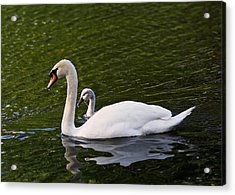 Swan Mother With Cygnet Acrylic Print by Rona Black