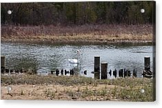 Swan Of Crooked River Acrylic Print by Wendy Shoults
