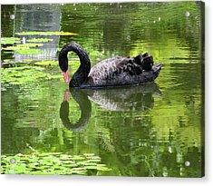 Swan Of Hearts Acrylic Print