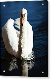 Swan Posing Acrylic Print by Teemu Tretjakov