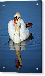 Swan Reflection Acrylic Print by Karol Livote