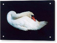 Swan Acrylic Print by Richard Mansfield