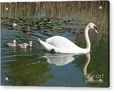 Swan Scenic Acrylic Print by Andrew  Michael