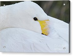 Acrylic Print featuring the photograph Swan Siesta by Paul Farnfield