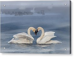 Acrylic Print featuring the photograph Swan Valentine - Blue by Patti Deters
