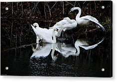 Swans And Snow Geese Acrylic Print