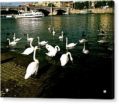 Swans Acrylic Print by Ariane Moshayedi