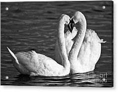Swans Acrylic Print by Brandon Broderick