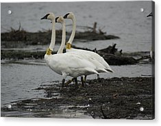 Acrylic Print featuring the photograph Swans Line Dancing by Ron Read