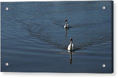 Swans On Blue Acrylic Print by Charles Kraus