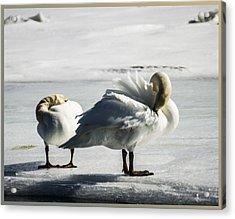 Swans On Ice Acrylic Print