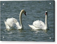 Swans On Lake  Acrylic Print by Cliff Norton