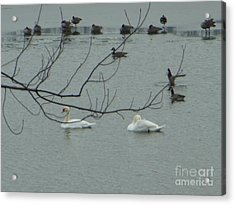 Swans With Geese Acrylic Print