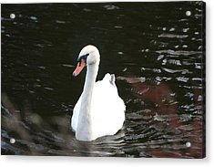 Swans-a-swimming Acrylic Print