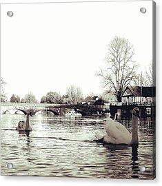 Swans On The River Avon. Acrylic Print