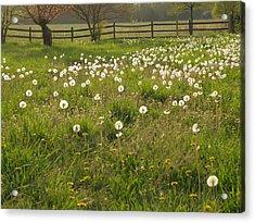 Swarming Dandelions Acrylic Print
