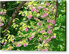 Sweeping Cherry Blossom Branches Acrylic Print