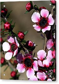 Sweet Cherry Acrylic Print by Baggieoldboy