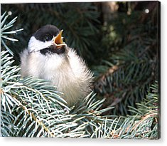 Acrylic Print featuring the photograph Sweet Chickadee by Angie Rea