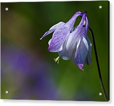 Sweet Columbine Acrylic Print by Margaret Barry
