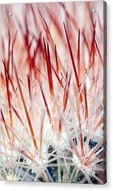 Sweet Gentle Pink Blooming Cacti Acrylic Print