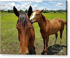 Sweet Horses  Acrylic Print