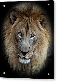 Sweet Male Lion Portrait Acrylic Print