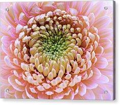 Sweet Pink Gerber Acrylic Print
