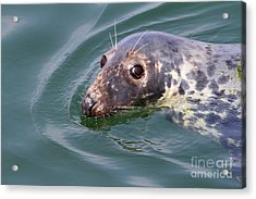 Sweet Seal Acrylic Print