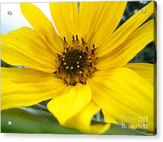 Sweet Sunflower Acrylic Print