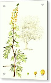 Acrylic Print featuring the painting Sweet Thorn Botanical Illustration by Heidi Kriel