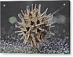 Acrylic Print featuring the photograph Sweetgum Ball by Donna G Smith
