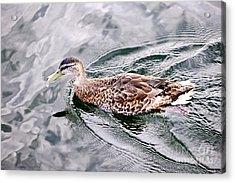 Swimming Duck Acrylic Print by Elena Elisseeva