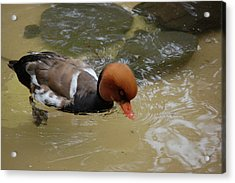 Swimming Duck Acrylic Print by Samantha Kimble