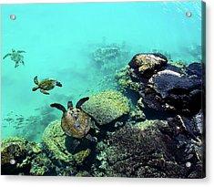Swimming Honu Acrylic Print