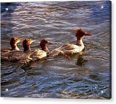 Swimming In The Lamar Acrylic Print