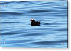 Swimming Puffin In Blue Water Acrylic Print by Dan Sproul