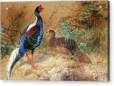 Swinhoe's Pheasant  Acrylic Print