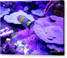 Acrylic Print featuring the photograph Ta Purple Coral And Fish by Francesca Mackenney