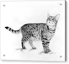 Tabby Cat Looking Up Acrylic Print by Phyllis Tarlow