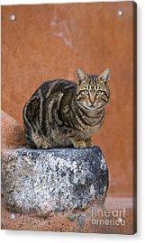 Tabby Cat On A Greek Island Acrylic Print by Jean-Louis Klein & Marie-Luce Hubert