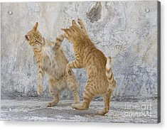 Tabby Cats Fighting Acrylic Print