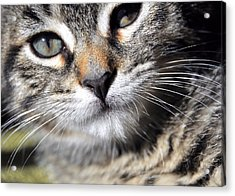 Tabby Kitten Acrylic Print by JAMART Photography