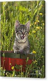 Tabby Kitten Acrylic Print by Jean-Louis Klein & Marie-Luce Hubert