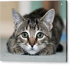 Tabby Kitten Acrylic Print by Jody Trappe Photography