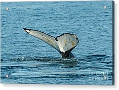 Tail Of The Whale Acrylic Print